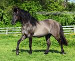 grullo stallion 3