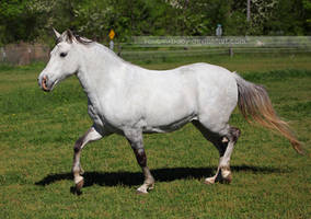 gray paso fino 1 by venomxbaby