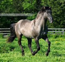 grullo stallion 4 by venomxbaby