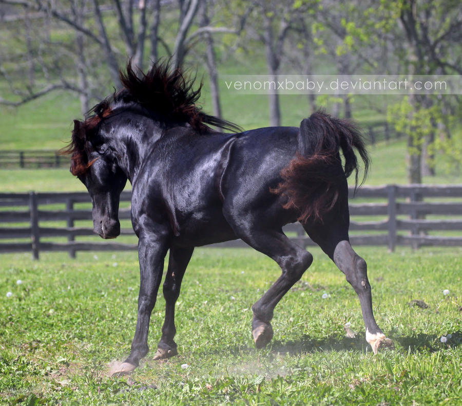black stallion 5 by venomxbaby
