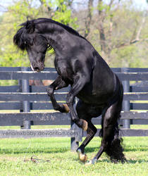 black stallion rearing 2 by venomxbaby