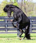 black stallion rearing 2