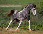 gray roan sabino mare 6