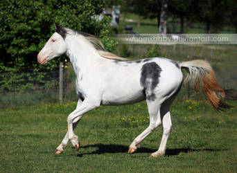 white gray overo paint 4 by venomxbaby