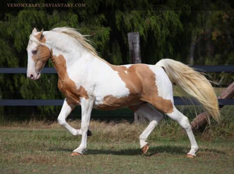 gold champagne stallion 4 by venomxbaby