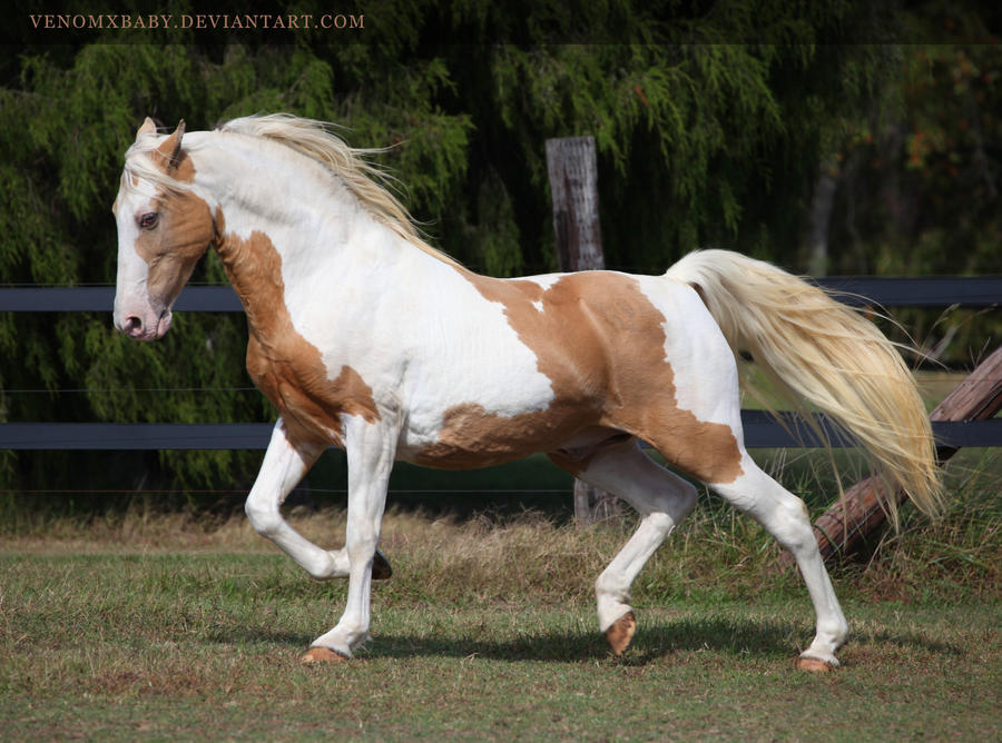 gold champagne stallion 4 by venomxbaby
