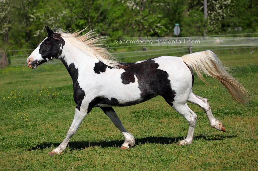 Black White Tovero Paint 5 By Venomxbaby