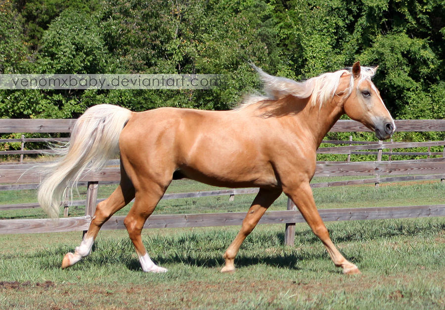 Palomino Tennessee Walker Horse 1 by venomxbaby