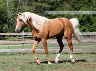 Palomino Tennessee Walker Horse 3 by venomxbaby