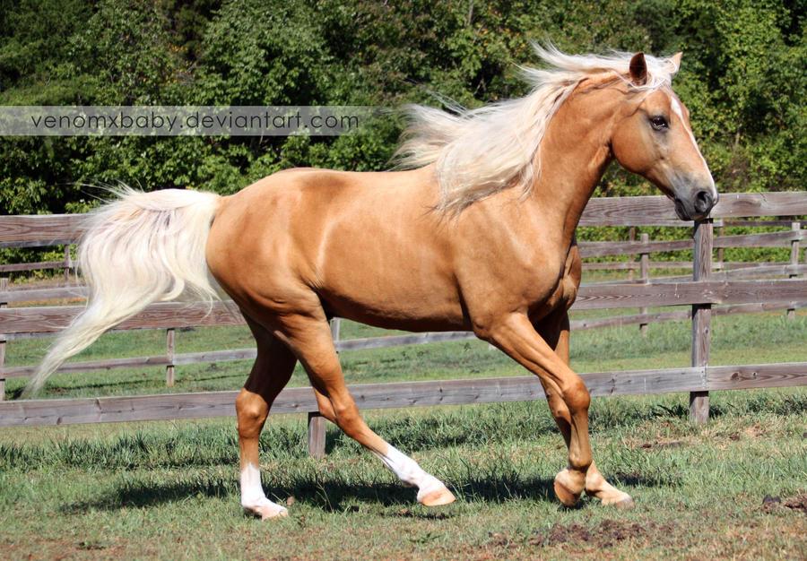 Palomino Tennessee Walker Horse 4 by venomxbaby