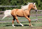 Palomino Tennessee Walker Horse 4