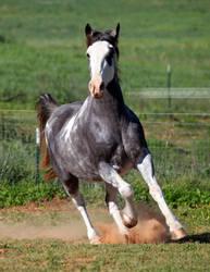 gray roan sabino mare 8 by venomxbaby