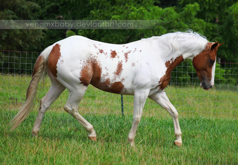 chestnut tovero paint horse 1 by venomxbaby
