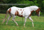 chestnut tovero paint horse 1