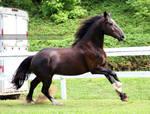 black fresian cross mare 1