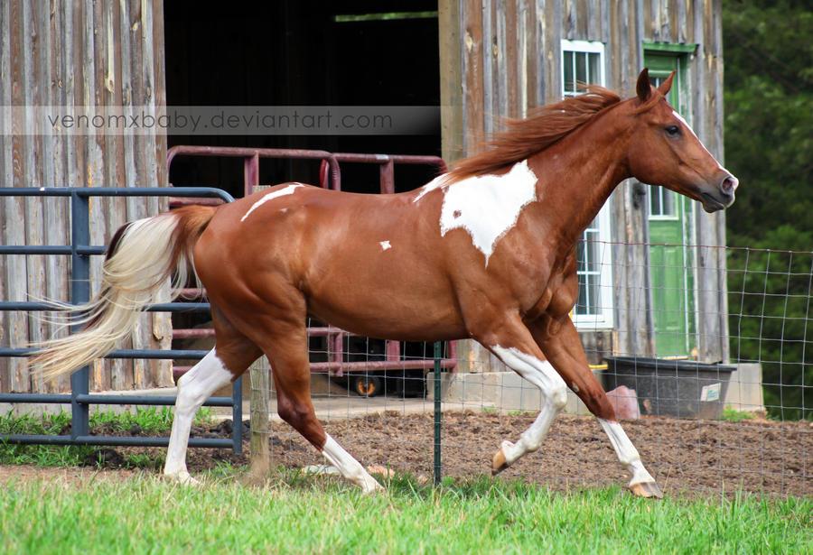 chestnut tobiano paint horse 1 by venomxbaby