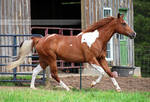 chestnut tobiano paint horse 1