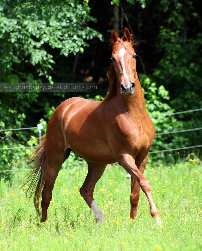 chestnut saddlebred horse 1 by venomxbaby