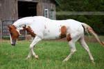 chestnut tovero paint horse 2