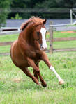 chestnut horse with blaze 1