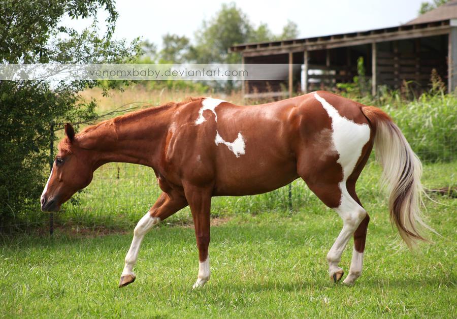 chestnut tobiano paint horse 2 by venomxbaby