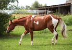 chestnut tobiano paint horse 2
