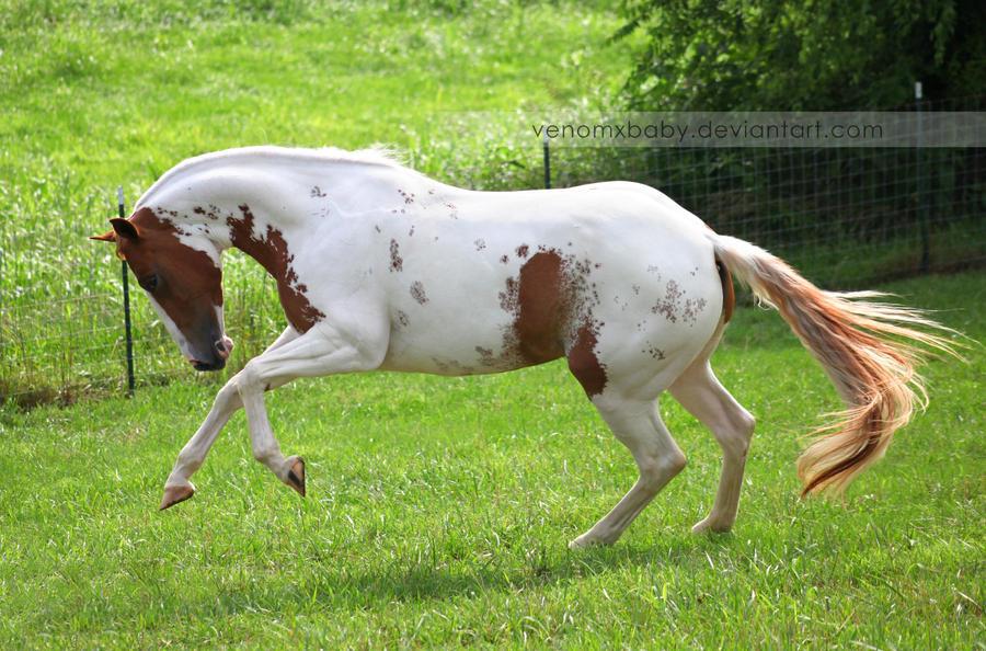 chestnut tovero paint horse 3 by venomxbaby