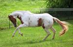 chestnut tovero paint horse 3