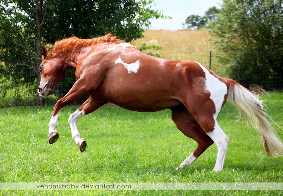 chestnut tobiano paint horse jump by venomxbaby on DeviantArt - photo#37