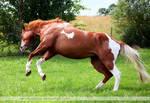 chestnut tobiano paint horse jump