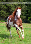 red roan overo paint horse 1