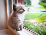 seal mink ragdoll kitten