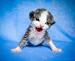 singing little kitten
