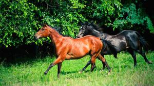 bay and black horse wallpaper by venomxbaby
