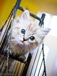 seal lynx mink ragdoll kitten