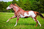 red roan paint horse