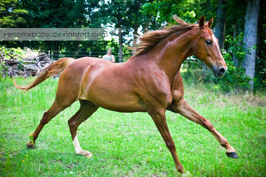 chestnut saddlebred horse 2 by venomxbaby