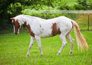 chestnut tovero paint horse 4 by venomxbaby