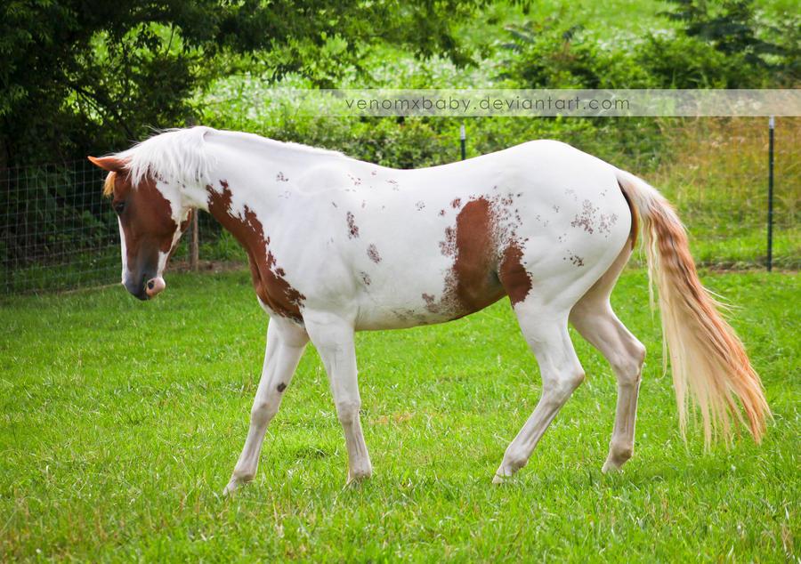 chestnut tovero paint horse 4 by venomxbaby on DeviantArt - photo#32