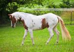 chestnut tovero paint horse 4