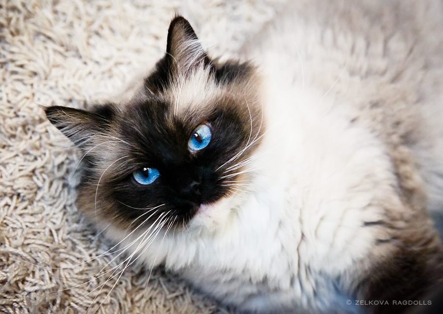 Blue Eyed Brown Haired Cat
