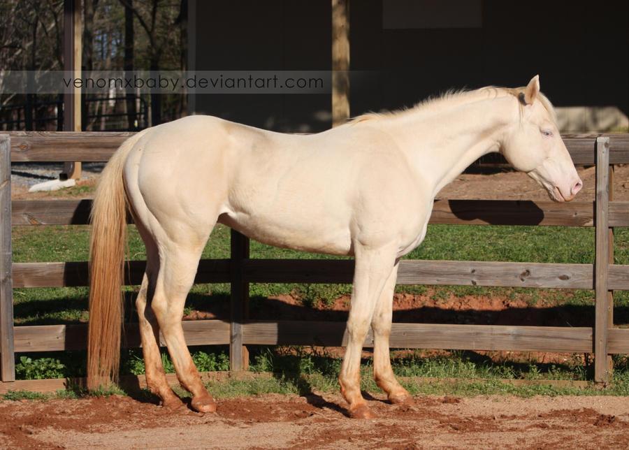 perlino stallion 10 by venomxbaby