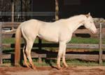 perlino stallion 10