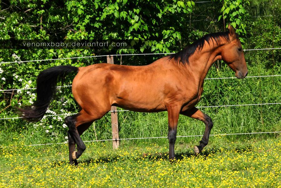 bay akhal-teke stallion 10 by venomxbaby on DeviantArt