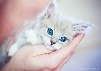 mink ragdoll kitten by venomxbaby