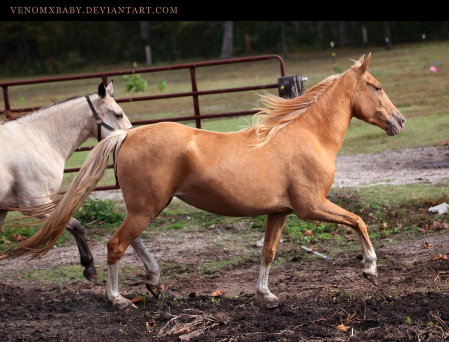 Gold Champagne Horse Gold Champagne Horse 1 by