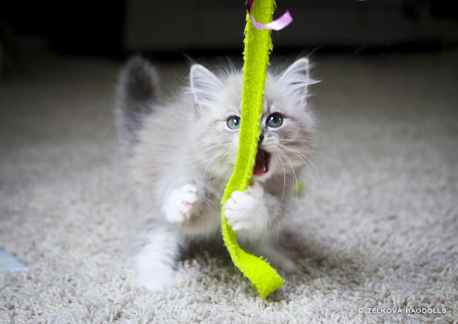 ragdoll kitten attack