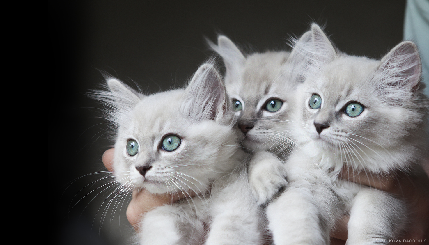 mink ragdoll kittens by venomxbaby on DeviantArt