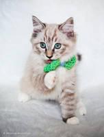 bow tie ragdoll kitten