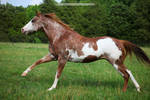 red roan overo paint horse 2
